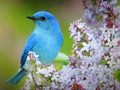 Bel oiseau Tangara Bleu et branche de Lilas . (chanelchat Rachel) Tags: trees summer home nature birds canon season lilac bluebird oiseaux chanelchat infinitexposure