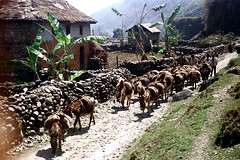 21-149 (ndpa / s. lundeen, archivist) Tags: road nepal houses people house color building film animals wall rural 35mm buildings village 21 path donkeys nick donkey trail stonewall dirtroad nepalese thatchedroof 1970s 1972 mules himalayas mule nepali dwellings dwelling dewolf mountainvillage thatchroof ruralvillage nickdewolf photographbynickdewolf ruraldwellings ruralnepal reel21 hillyregion