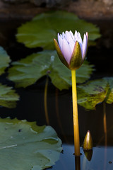 Solitary (ByronF) Tags: flower water sunrise austin botanical pond texas purple single solitary zilker waterlilly zilkerbotanicalgardens byronf