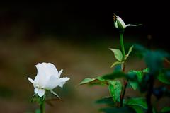 DSC04699 (Michael Rasmussen) Tags: flowers summer flower rain denmark sony danmark amount michaelrasmussen amazingamateur minoltaamount minolta300mmf4 sonya99
