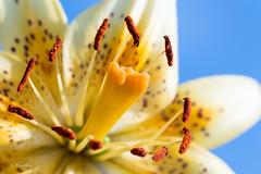 Vases are a prison (ozVADERzo) Tags: flower nikon lily tamron 90