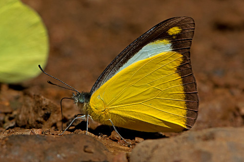 Appias lyncida - Chocolate Albatross