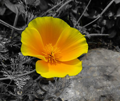 Flower (nadine3112) Tags: sandiego blumen balboapark japanesefriendshipgarden colorkey colorkeying