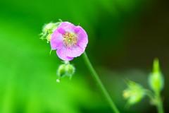 Delicate (imageClear) Tags: flower macro green beauty wisconsin garden nikon flickr purple flor lovely sheboygan photostream perennial 105mm geraniummaculatum hardygeranium d7000 imageclear