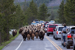 Traffic Jam (FS_photos) Tags: canon landscape photography photo nationalpark buffalo photos yellowstonenationalpark yellowstone bison yellowstonenp 28135mmis outdoorsphotography 60d 01equipment