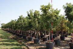 45g Bur Oak