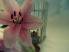 Pretty pastels (jayneyyy) Tags: pink flowers flower color colour birdcage beautiful beauty fairytale vintage petals stem soft pretty colours lily pastel watch lilies lilly pastels romantic dreamy pastelpink pastelcolours pastelblue