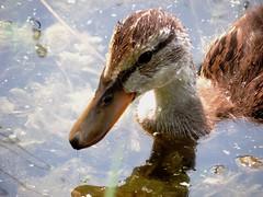 Juvenile Mallard (My Long Lens) Tags: bird duck pennsylvania duckling waterbird mallard waterfowl birdwatcher