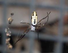 Nephilidae>Nephila edulis Golden Orb? Juvenile Female DSCF1463 (Bill & Mark Bell) Tags: exmouth westernaustralia australia geo:town=exmouth geo:state=westernaustralia geo:country=australia geo:lon=11425453egeolat2217752sgeoalt8m 11425453e2217752salt8m taxonomy:kingdom=animalia animalia taxonomy:phylum=arthropoda arthropoda taxonomy:class=arachnida arachnida taxonomy:order=araneae araneae taxonomy:family=nephilidae nephilidae taxonomy:genus=nephila nephila taxonomybinomialnamenephilaedulis nephilaedulis taxonomycommonnamegoldenorbspiderfemale goldenorbspiderfemale juvenile edulis spider