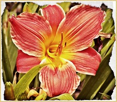 today's lily is pink n white (MissyPenny) Tags: pink white flower garden lily pennsylvania daylily summertime pdlaich