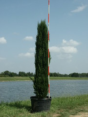 Italian Cypress 45g 7-10-14