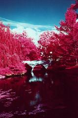 Dow Gardens EIR (scott_z28) Tags: bridge trees color film nature water mi landscape ir md minolta kodak michigan 28mm surreal slide infrared e6 f28 midland srt101 orange021 falsecolor eir tricities 1443 rokkor dowgardens aerochrome