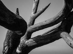 dancing tree III (christiane wilke) Tags: sea abstract detail tree baltic ostsee baum