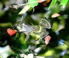 Afternoon frog (EcoSnake) Tags: afternoon frogs amphibians naturecenter bullfrogs ranacatesbeiana northamericanbullfrog idahofishandgame lithobatescatesbeiana