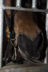 Nariz (MarCalvo) Tags: animales caballo detalle morro hocico nariz ollares comer hueco agujero reja box segovia españa