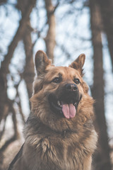 Chillin (Dekka86) Tags: dog dogs gsd germanshepherd hungary forest tree trees ground dirt happy serious play playful concentrate boy goodboy