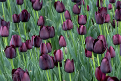 A host of purple tulips (ChrisKirbyCapturePhotography) Tags: tulip purpletulips purpleflowers purple flowerwallpaper bowralnsw flowers chriskirbycapturephotography spring springshowers bulbs beuatidulflowers