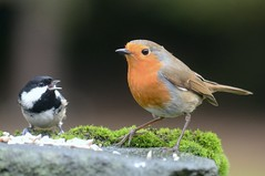 """Here, Robbo... (stuant63) Tags: robbo robin coaltit periparusater erithacusrubecula"