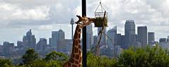 Room with a view (Allan Durward) Tags: sydney2017 sydney nsw australia taronga tarongazoo tarongazoosydney giraffe flickr