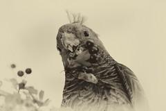 Gang Gang (heritagefutures) Tags: gang feeding hawthorn albury callocephalon fimbriatum ganggang cockatoo