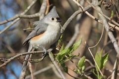 Tufted Titmouse 3-29-2017-4 (Scott Alan McClurg) Tags: animalia aves bbicolor baeolophus chordata neoaves neognathae neornithes paridae passeri passerida passeriformes animal bird bokeh flickrbirds forest life nature naturephotography perch perching portrait songbird spring suburbs titmouse tree tufted tuftedtitmouse wild wildlife yard delaware