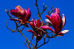 Magnolia in The Sky : モクレン (Dakiny) Tags: 2017 spring march japan kanagawa yokohama aoba ichigao outdoor nature field park plant tree flower blossom magnolia macro bokeh nikon d7000 tamron 70300mm sp70300mmf456divcusd a005 modela005 nikonclubit