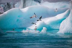 Jökulsárlón (ploppjr) Tags: iceland island jökulsárlón glacier lagoon ice birds animal travel
