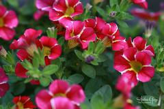 Superbells Cherry Star - Calibrachoa hybrid (Andrea Garza ~) Tags: flowers floral flower garden calibrachoa provenwinners gardening pink yellow organic tinypetunias