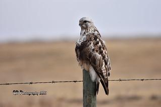 Rough-legged Hawk DSC_2178