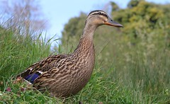 Mallard 100417 (1) (Richard Collier - Wildlife and Travel Photography) Tags: wildlife naturalhistory birds britishbirds mallardanasplatyrhynchos british duck naturethroughthelens