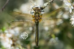 Cordulia aenea (Greg 50) Tags: odonata odonate cordulia corduliaaenea cordulie corduliebronzée libellule dragonfly manche 50 normandie normandy france