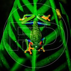 Red eyes frog (VICTEC-FD) Tags: agalychnis amphibia animalia anura chordata enfoqueselectivo espacionegativo fulldesigner hylidae santaelena puntaarenas costarica