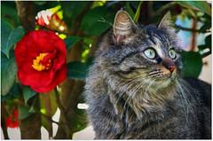 My sweet Lucy (Simply Viola) Tags: gato gatto katze kot animal feline pet cat