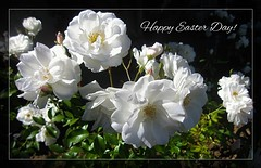 Happy Easter Day! (Blanca Rosa2008 +3,800,000 Views Thanks to All) Tags: zstincer californiasgarden californiasflowers flowers flora flores blossom plants outdoor gardens jardines macro nature naturaleza white green bokeh canonpowershotsd880is