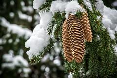 A Snowy March Day (T.M.Peto) Tags: pines pinecone pinecones pinetree snow snowy outdoor outdoors outdoorphotography southeasternpa pennsylvania buckscounty winter march closeup tree trees snowcovered outside getoutside ice nikond3300 nikon lightroom scenicsnotjustlandscapes