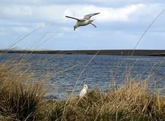 Fulmars (stuartcroy) Tags: orkney island fulmar mallimack bird water white wildbird wildlife