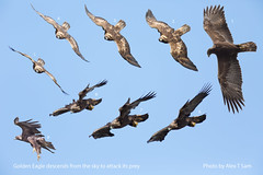 Golden Eagle descending from the sky to attack its prey (Alex T Sam) Tags: golden eagle action attack its prey wildlife descend from sky