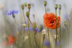 Sehnsucht nach Farbe... (angelika.kart) Tags: mohn kornblume sommer farbe feld