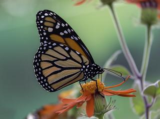 Le monarque et sa fleur