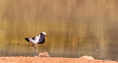 Blacksmith lapwing or blacksmith plover (Vanellus armatus) in Pilanesberg, South Africa (Knud Hald) Tags: 2017 africa albatros canon canon6d canonef400mmf56l fuji fujix fujixt10 fujinon1855mm284wrois knudhald limpopo outdoor pilanesberg pilanesbergsouthafrica2017 rhino safari southafrica wildlife ngc