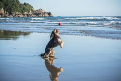 Catch !! (Kiwi-Steve) Tags: dog nz newzealand northisland tauranga mountmaunganuibeach mountmaunganui beach catch fetch reflection ball sea nikond7200 nikon