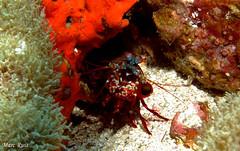IMG_5312 (marc.ruis) Tags: myanmar diving peacock mantis shrimp