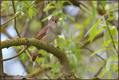 Nightingale (image 1 of 2) (Full Moon Images) Tags: paxton pits wildlife nature reserve cambridgeshire bird songbird sing singing song nightingale
