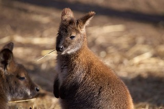 Wallaby lifestyle