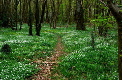 If you go down to the woods..... (pstone646) Tags: nature woodland kent ashford plants trees spring flowers flora green path