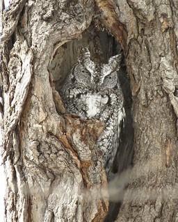 Petit-duc maculé / Eastern screech-owl / Otus asio / IMG_1705_lzn_xnv