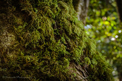 Treebeard (nomadsnature) Tags: odpshutters instadaily instagramsa instamoment instatravel ishootwithorms lightroomedits nature photooftheday southafricathroughmyeyes beaconisland gardenofeden knysna southafrica summer westerncape exterior forest landscapephotography tree woods za