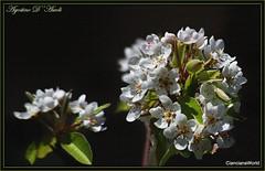 Fiori di pero a primavera - Marzo-2017 (agostinodascoli) Tags: pero fiori nikon nikkor cianciana sicilia texture nature macro agostinodascoli primavera