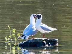 Him & Her (dudutrois) Tags: blaqck headed gull wwt llanelli