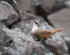 Canyon Wren (Christopher Lindsey) Tags: garfieldcounty snakeriver washington canyonwren birds birding spring lowergranitedam